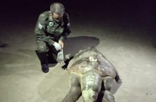 Tartaruga-cabeçuda encontrada morta na Praia de Santa Clara